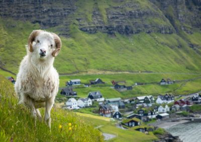 1 Mouton feroien a Vagar