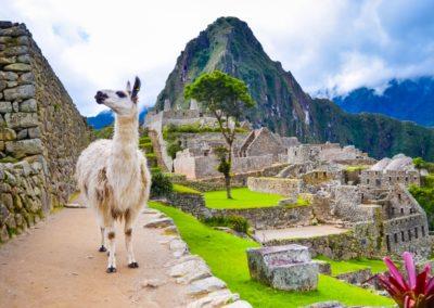 2 Lama blanc au Machu Picchu Unesco