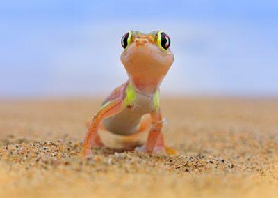 3 Adorable gecko du Namib