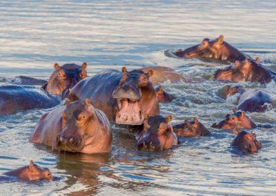 5 Hippopotames dans le parc Chobe