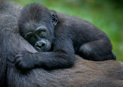 6 Bebe gorille