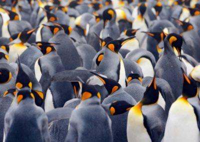 6 Colonie de pingouins