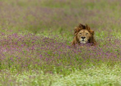 7 Le roi lion