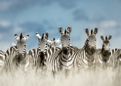 7 Troupeau de zebres curieux