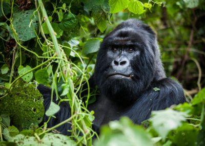 Gorille des montagnes au Rwanda