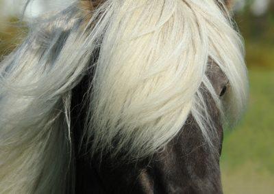 1 Frange blanche dun poney islandais sympa
